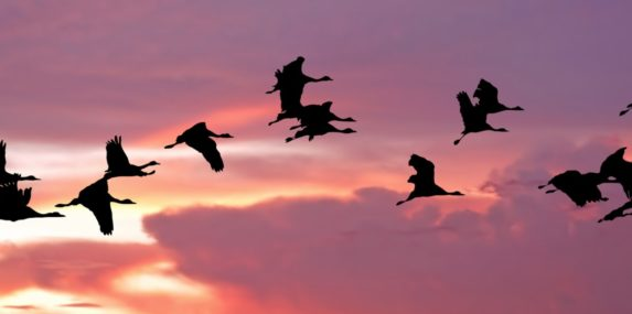 silhouette of migrating birds at sunset